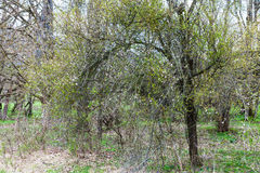 Arbre fleurissant d'acacia dedans au printemps Photos libres de droits