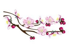Arbre fleurissant de ressort Image stock