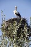 Arbre fleurissant et cigogne Photographie stock libre de droits