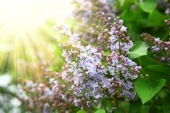 Arbre fleurissant merveilleux Photos stock