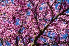 Arbre fleurissant rose de ressort Photos libres de droits