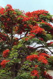 Arbre fleurissant rouge Image libre de droits