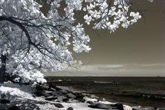 Arbre fleurissant sur la côte, infrarouge Photos libres de droits