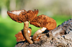 Arbre forestier de champignon de couche Images stock