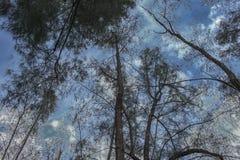 Arbre forestier, pin sous le ciel, image discrète Photo stock