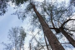 Arbre forestier, pin sous le ciel, image discrète Photos stock
