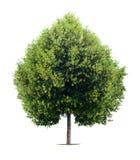 arbre formé par tilleul de coeur Images libres de droits