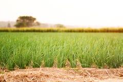 Arbre frais d'oignon dans la ferme biologique au coucher du soleil photo libre de droits