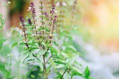 Arbre frais d'usine de basilic sur le fond de nature - feuille verte et légume de fleur de basilic et usine pourpres d'herbe dans image libre de droits