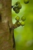 Arbre fruitier Photo libre de droits