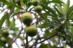 Arbre fruitier de Bael Le fruit pour l'appareil digestif Image libre de droits