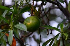 Arbre fruitier de Bael Le fruit pour l'appareil digestif Images stock