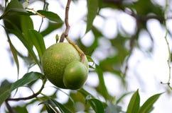 Arbre fruitier de Bael Le fruit pour l'appareil digestif Image stock