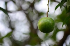 Arbre fruitier de Bael Le fruit pour l'appareil digestif Photographie stock