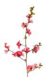 arbre fruitier de fleur Photo libre de droits