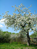 Arbre fruitier de floraison Image libre de droits