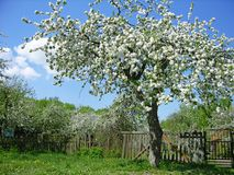 Arbre fruitier de floraison Photos libres de droits