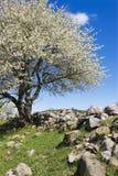 Arbre fruitier de floraison Images stock