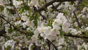 Arbre fruitier de floraison de cerise clips vidéos