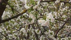 Arbre fruitier de floraison de cerise banque de vidéos