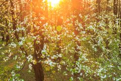 Arbre fruitier de floraison dans des lumières de coucher du soleil Image stock