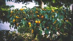 arbre de citron avec le fruit petite orange photo stock image du baisse macro 4020808. Black Bedroom Furniture Sets. Home Design Ideas