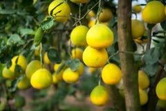 Arbre fruitier de pamplemousse mûr et vert dans le jardin Photographie stock