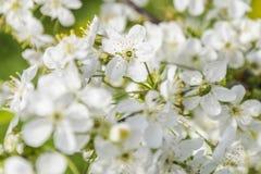 Arbre fruitier fleurissant Image stock