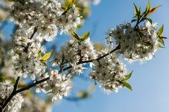 Arbre fruitier fleurissant Image libre de droits