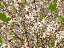 Arbre fruitier fleurissant dans le printemps photographie stock libre de droits
