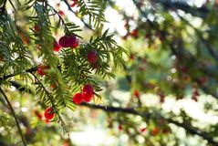 Arbre fruitier non comestible rouge Images libres de droits