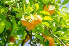 Arbre fruitier orange lumineux de la Californie à Sacramento du centre dans le Ca photos libres de droits