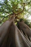Arbre géant renversant Photo libre de droits