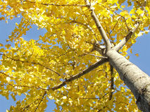 Arbre - Ginko Images stock