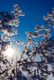 arbre givré Photo libre de droits