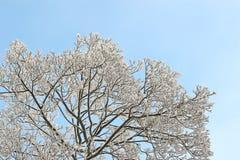 Arbre givré au-dessus de ciel bleu clair Photos libres de droits