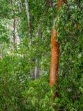 arbre Gombo-fictif dans la jungle mexicaine entourée par le foliag luxuriant images libres de droits