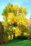 Arbre grand de biloba de gingko en automne Photos stock