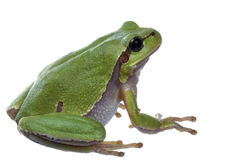 Arbre-grenouille images stock