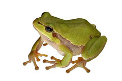 Arbre-grenouille Image stock