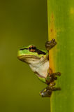 Arbre-grenouille Photos stock