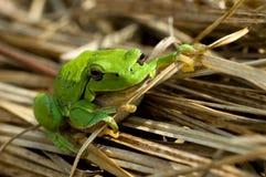 Arbre-grenouille Image libre de droits
