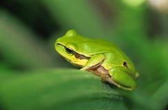 Arbre-grenouille photos libres de droits