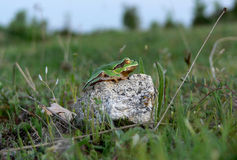 Arbre-grenouille Image stock