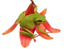 Arbre-grenouille sur une fleur Photos libres de droits
