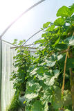 Arbre hydroponique de cantaloup d'usine accrochant en serre chaude Photo libre de droits