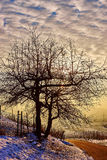 Arbre isolé au coucher du soleil dans le vignoble Photographie stock