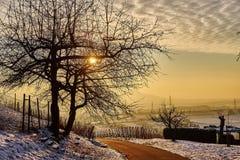 Arbre isolé au coucher du soleil dans le vignoble Photo libre de droits