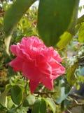 Arbre isolé avec les fleurs jaunes un jour chaud ensoleillé photo stock