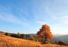 Arbre isolé d'automne la soirée carpathienne. image libre de droits